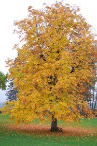 Hestekastanje, Aesculus hippocastanum, gul høstfarge