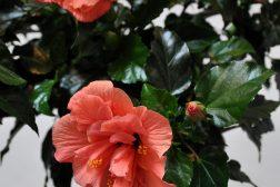 En spesiell sort av hawaiirose, med fylte blomster