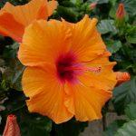 Oransje Hawaiirose