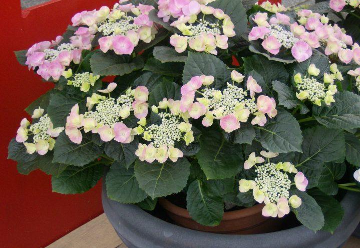 hortensiakrukke