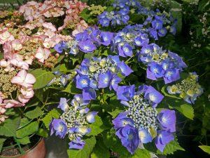 Nydelig blå Hortensia