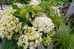 Reneste hvite Hortensia til stue, krukker og hage