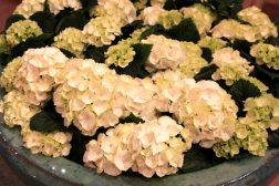 Hvit Hortensia i krukke