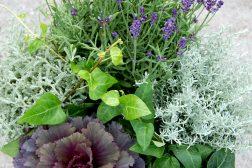 Høstkrukke med lavendel, prydkål, eføy og Senecio