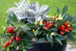 Høstkrukke med prydpaprika og Sølvkrans
