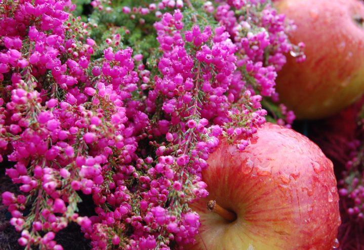 Høstlyng og epler