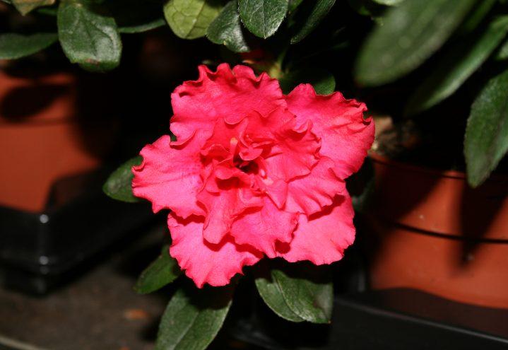 Nærbilde rosa asalea