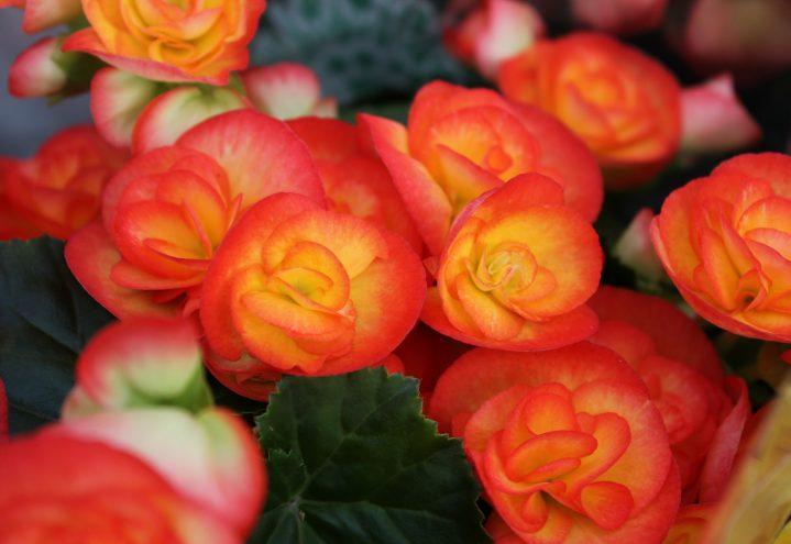 påskeblomst, begonia, hiemalisbegonia, begonia hiemalis, oransj, gul