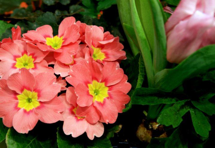 Primula i flott samplanting
