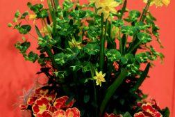 Vårfrisk blomsterkrukke med primula og påskeliljer