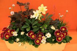 Vårkrukke med primula, Helleborus, margeritter, strandnellik, alunrot