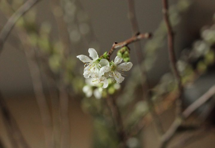 Blomstring på bare grener