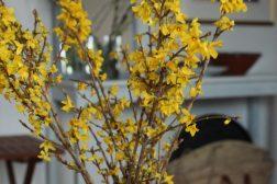 Forsythia, gullbusk, ta inn grener om våren