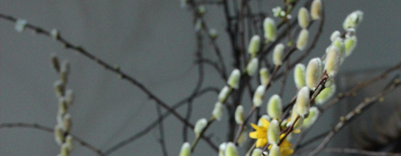 Vårblomstrende grener; gullbusk og selje