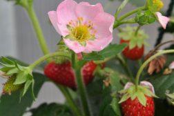 Jordbær med rosa blomster