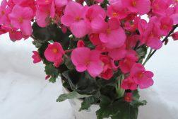 Juleglede, Begonia cheimantha