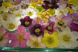 Blomster av juleroser, Helleborus, i vann