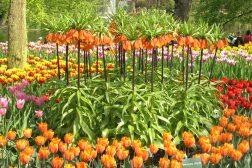 Løkblomstring med keiserkrone og tulipaner
