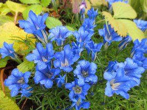 Kinasøte, intens blåblomstrende staude