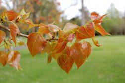 Den rødbrune fargen fungerer som solfaktor for de nye bladene