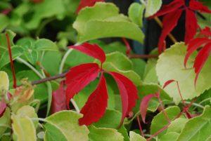 Klatrevillvin, villvin, Parthnocissus, høstfarge