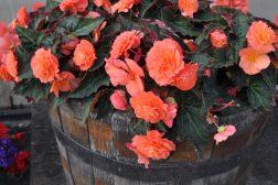 Knollbegonia er nydelig og blomstrer hele sommeren
