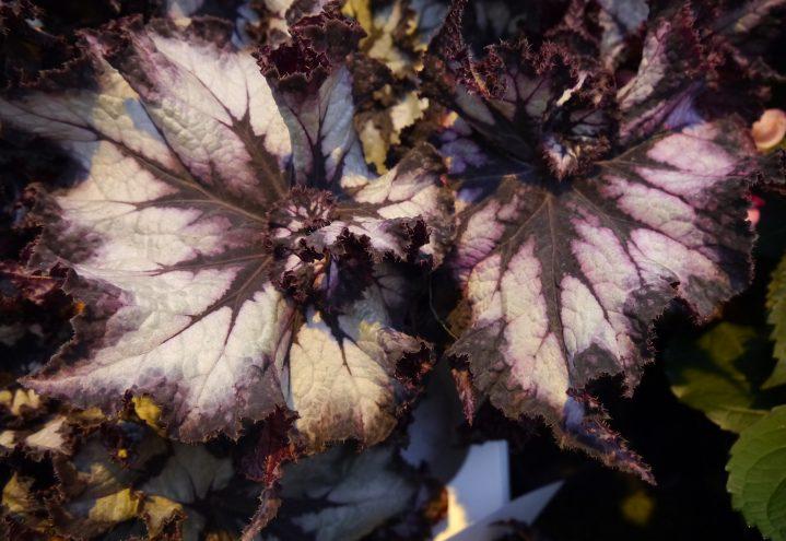 Kongebegonia, Begonia rex