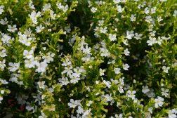 Krokbeger, Cuphea i hvitt