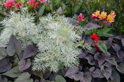 Krypmalurt Artemisia schmidtiana og mørkbladet Ipomea batatas