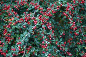 Krypmispel, Cotoneaster med bær