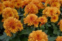 Krysantemum oransje