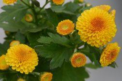 Krysantemum guloransje