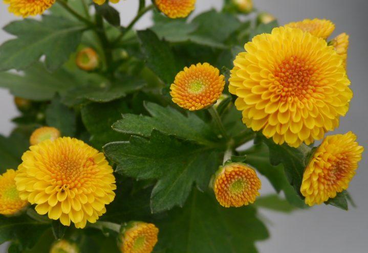 Søt gul krysantemum til borddekorasjonene