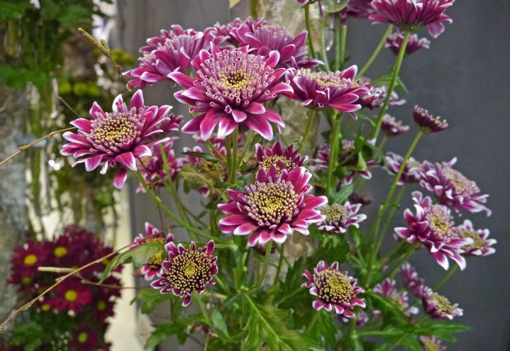 Krysantemum som snittblomst