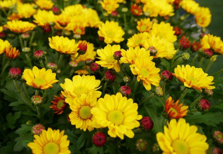 krysantemum gul, påske og høst