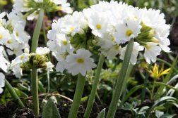 Kuleprimula blomstrer tidlig vår
