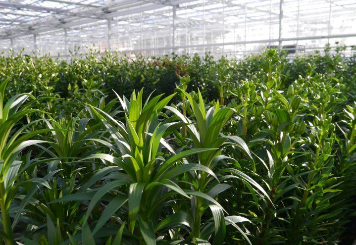 Utsikten i veksthuset. Avhengig av sort bruker liljene bare 7 til 12 uker fra løk til salgsklar blomst.