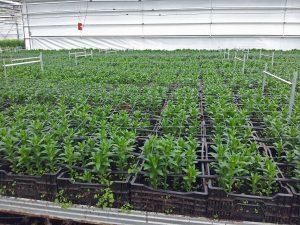 Liljeproduksjon unge planter
