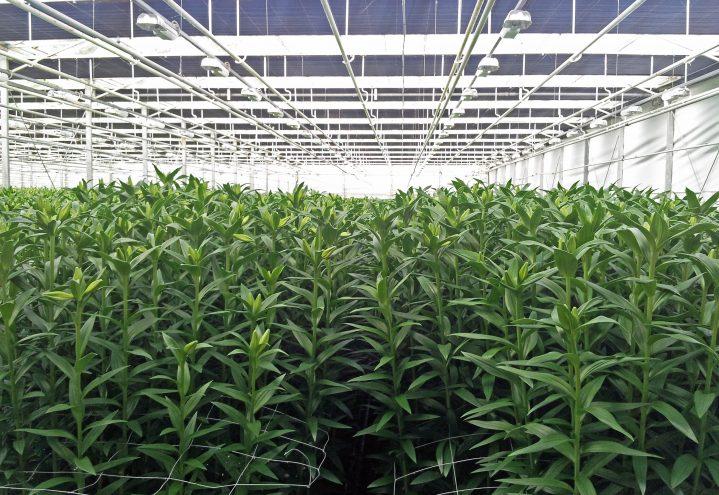 Snart høsteklare liljer i veksthus