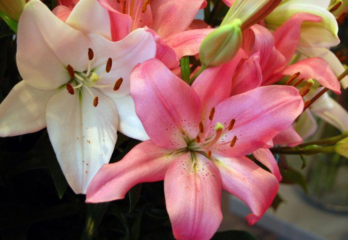 Liljer i rosa og hvitt