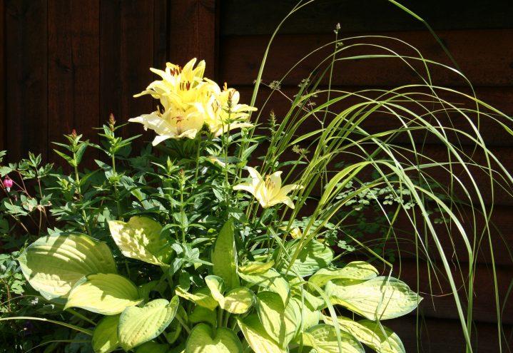Liljer, Hosta, Lythrum, prydgras, Thalictrum