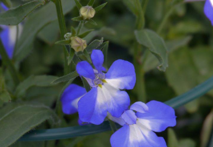 Lobelia har mange skinnende blå sorter