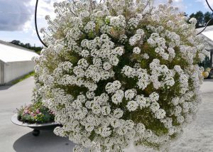Lobularia maritima, ofte kalt Alyssum, som var et tidligere navn. Norsk navn Silkedodre