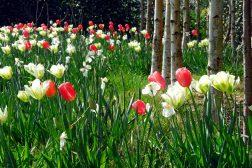 Flor av narcisser og tulipaner