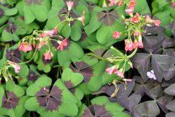 Lykkekløver, prydkløver eller Trifolium – samme plante, mange navn