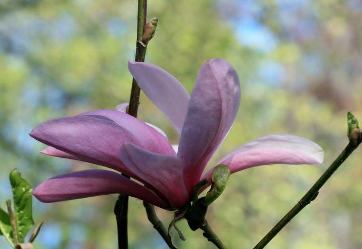 Magnolia i rosa