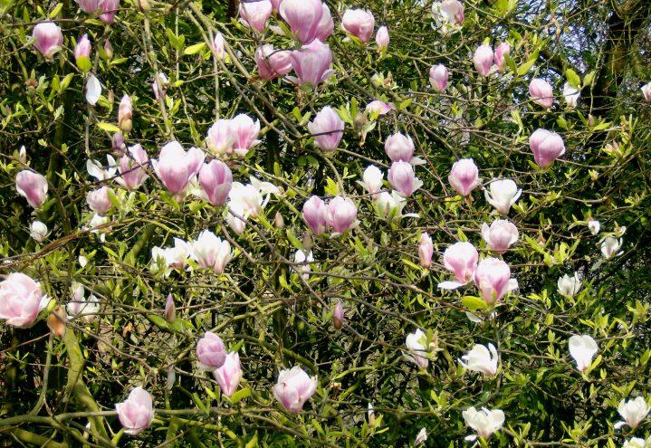 Magnolia i full blomst