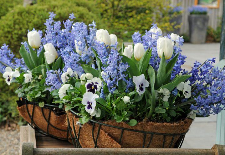 Lekre vårblomstrende krukker i hvitt og blått