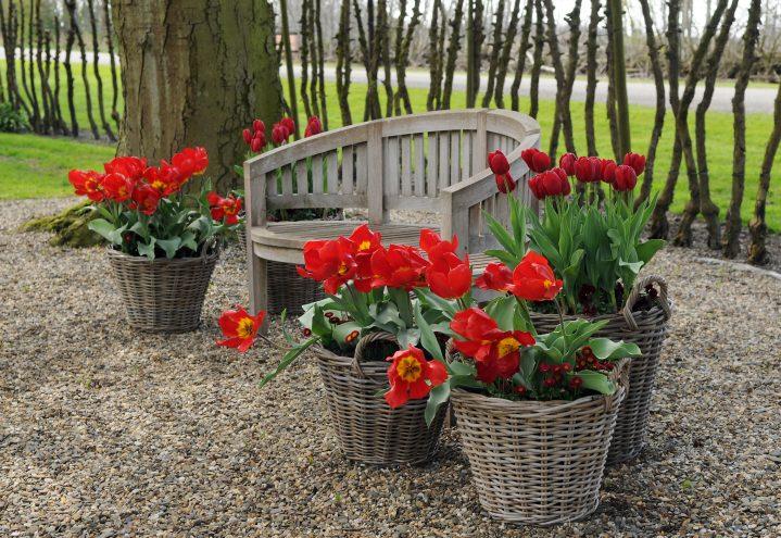 Tulipankrukker ved uteplassen