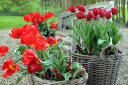 Kurver med stemor, tulipan og tusenfryd
